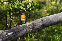 Rudzik lub rudzika redbreast - mały ptak Fotografia Royalty Free