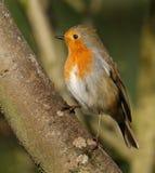 Rudzik, pospolity Brytyjski dziki ptak Zdjęcia Stock