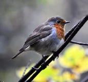Rudzik ptasiej rodziny flycatchers Obrazy Royalty Free