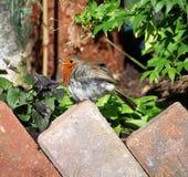 Rudzik Redbreast & x28; Erithacus Rubecula& x29; Fotografia Royalty Free