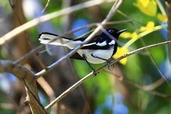 Rudzik sroki rudzika Ptasi Orientalni ptaki Copsychus saularis ptaki Obraz Royalty Free