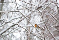 Rudzik w zimie Fotografia Royalty Free