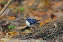 rudzika błękitny siberian zdjęcie stock