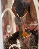 Rudzika dziecka żywieniowy kurczątko w usta Obrazy Stock