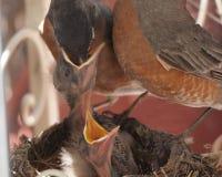 Rudzika dziecka żywieniowy kurczątko w usta Obraz Royalty Free