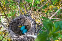 Rudzika gniazdeczko z jajkami fotografia royalty free
