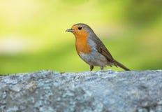 Rudzika ptak zdjęcia stock