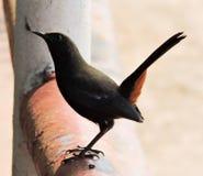 Rudzika ptak Zdjęcia Royalty Free