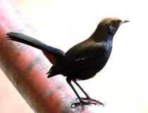 Rudzika ptak Zdjęcie Royalty Free