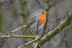 Rudzika ptak przy Oostvaardersplassen w holandiach zdjęcia stock