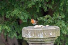 Rudzika Redbreast ptak Fotografia Stock