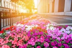 Rue au coucher du soleil, décoré d'un grand lit de fleur d'Impatiens Image stock