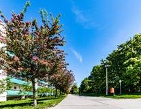 Rue avec les arbres de floraison à Berlin, Marzahn, Allemagne Images libres de droits