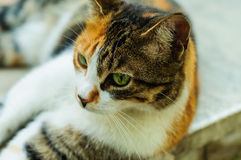 Rue Cat Portrait Image stock