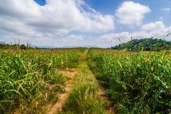 Rue dans le domaine de maïs à la campagne Photographie stock libre de droits