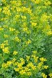 Rue fragrant odorous Ruta graveolens L.. The blossoming plants. N stock images