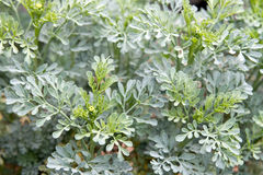 Rue Herb Plant royalty-vrije stock afbeelding