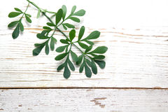 Rue herb plant. Lithuanian traditional plant Stock Images