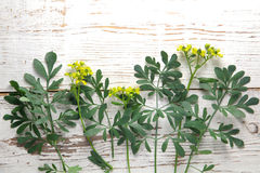 Rue herb plant. Lithuanian traditional plant Royalty Free Stock Photos