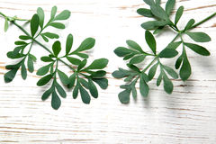 Rue herb plant. Lithuanian traditional plant Royalty Free Stock Photo