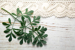 Rue herb plant. Lithuanian traditional plant Royalty Free Stock Image
