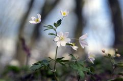 Rue Leaved Isopyrum-de lentebloem, groep witte bloeiende installaties in het bos stock foto's