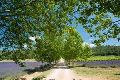 Ruelle avec des arbres dans le domaine de lavande dans les Frances Photo stock