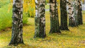 Ruelle de bouleau en automne photos libres de droits