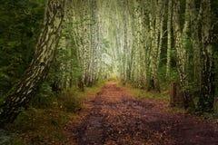Ruelle mystique de bouleau d'automne image libre de droits
