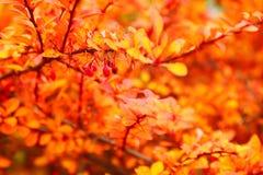 Ruelle orange de lame d'érable d'automne Photo stock