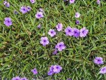 Ruellia领域美丽的紫罗兰色花  免版税库存图片