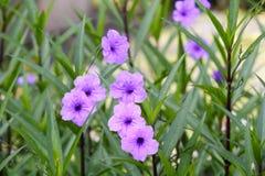 Ruellia Aphelandra (μπλε χλόη λουλουδιών ή χλόη ορχιδεών) Στοκ φωτογραφία με δικαίωμα ελεύθερης χρήσης