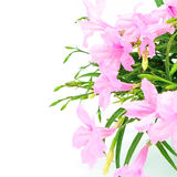 Ruellia Royalty Free Stock Photography