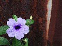 Ruellia blomma (Ruellia tuberosalinn ), Royaltyfria Foton