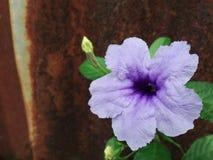 Ruellia blomma (Ruellia tuberosalinn ), Royaltyfria Bilder