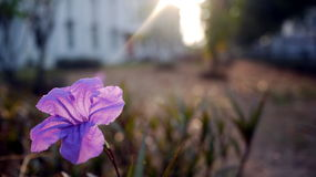 Ruellia Brittoniana 'Purple Showers' Stock Photography