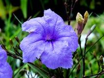 Ruellia enkelsidig blomma, blommande monsun arkivfoton