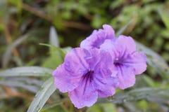 Ruellia flower Purple bloom Royalty Free Stock Photos