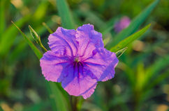 Ruellia flower on sunshine Stock Photography