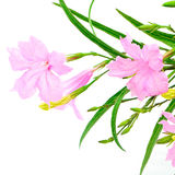 Ruellia squarrosa. Beautiful pink flower, Ruellia squarrosa, isolated on a white background Stock Images