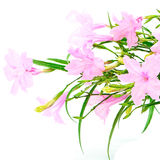 Ruellia squarrosa. Beautiful pink flower, Ruellia squarrosa, isolated on a white background Royalty Free Stock Photography