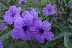 Ruellia squarrosa. In the park Royalty Free Stock Image