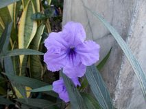Ruellia squarrosa. In the garden Royalty Free Stock Images