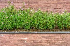Ruellia tuberos plant on a wall Royalty Free Stock Image