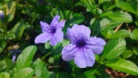 Ruellia tuberosa Obrazy Stock