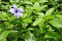 Ruellia Tuberosa, fiori porpora fotografia stock libera da diritti