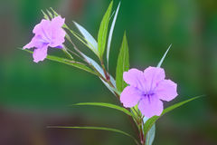 Ruellia tuberosa flower Royalty Free Stock Images
