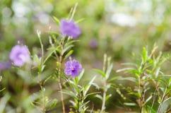 Ruellia tuberosa flower Royalty Free Stock Images