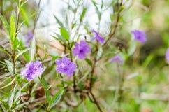 Ruellia tuberosa flower Royalty Free Stock Photos