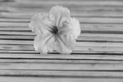 Ruellia tuberosa flower Stock Images